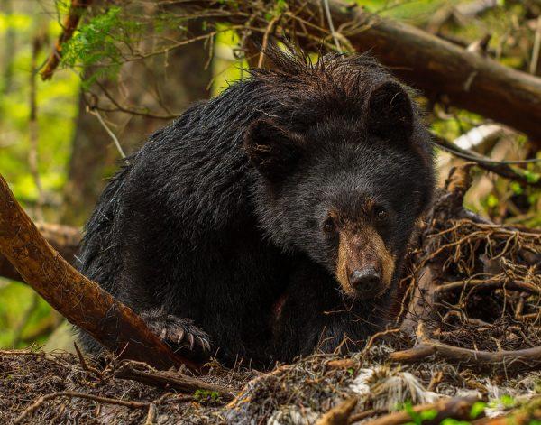 Black Bear Glare - Alaskan Black Bear
