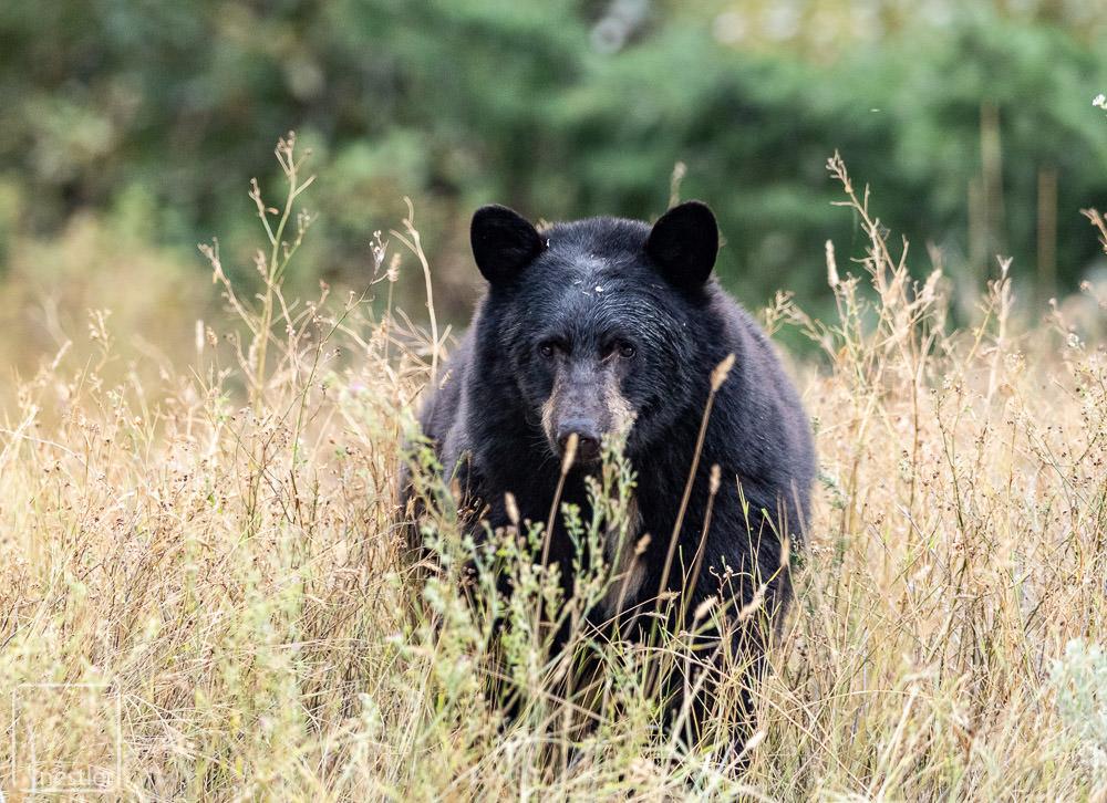 Black Bear near Lilloet Canada