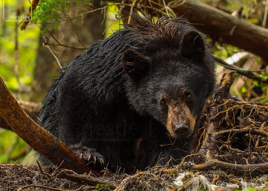Black Bear Glare - Alaskan Black Bear Closeup