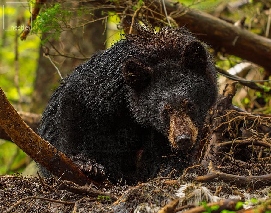 Black Bear Glare - Alaskan Black Bear Closeup