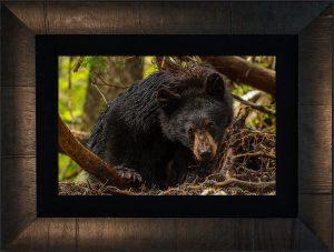 Black Bear Glare