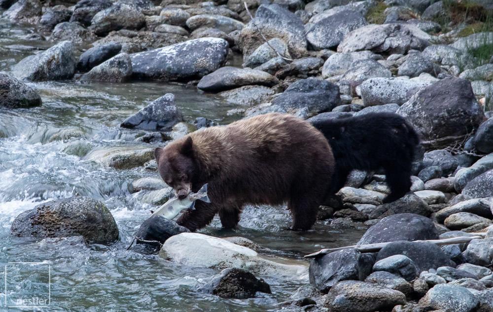 Brown Bear - Animals eating a dead salmon