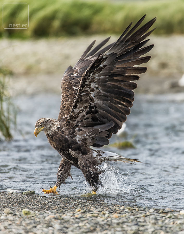 Emerge - Juvenile Bald Eagle coming out of the water