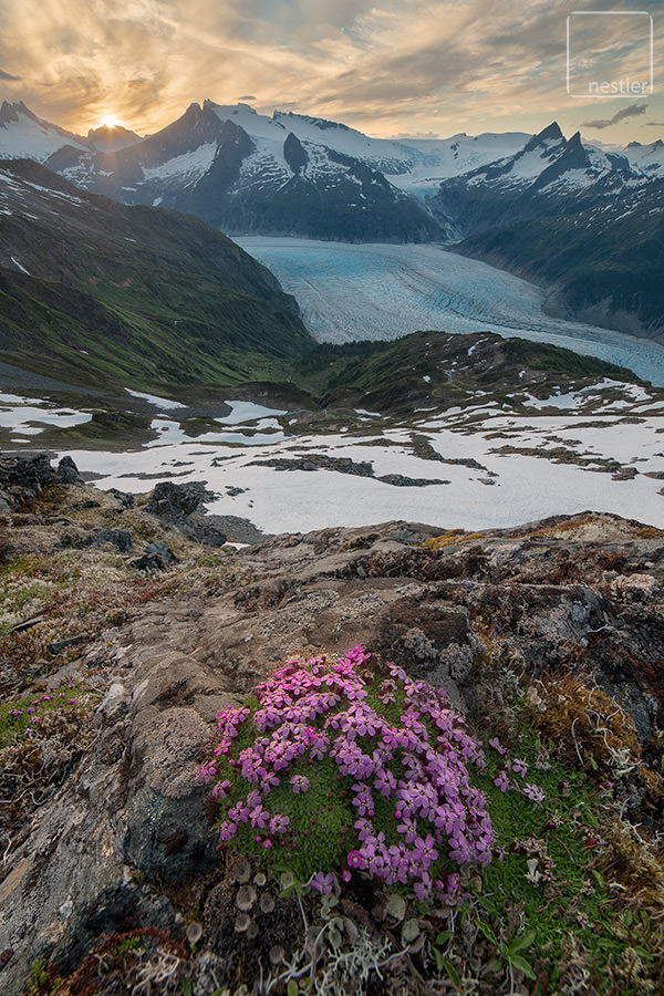 Frozen Blue Sea - Pink Flowers Stand Guard over the Mendenhall Glacier