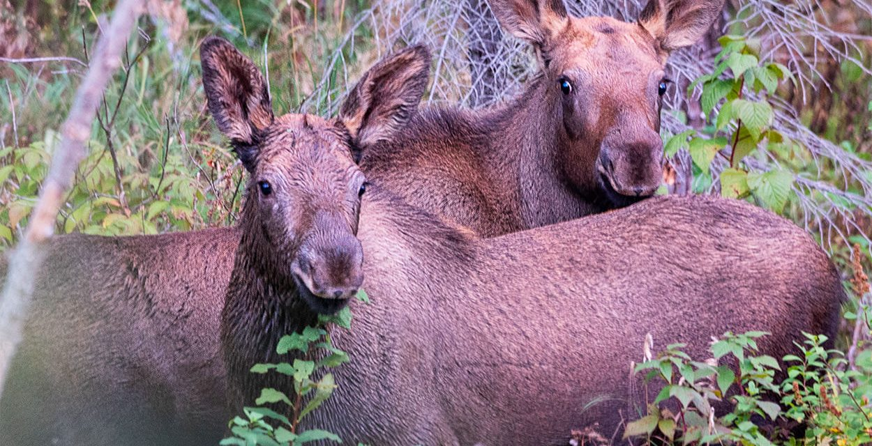 Moose Calves in Canada - Animals along the Stewart-Cassiar Highway