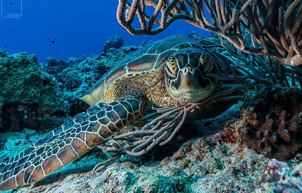 Giant Sea Turtle underwater resting under Coral in Palau