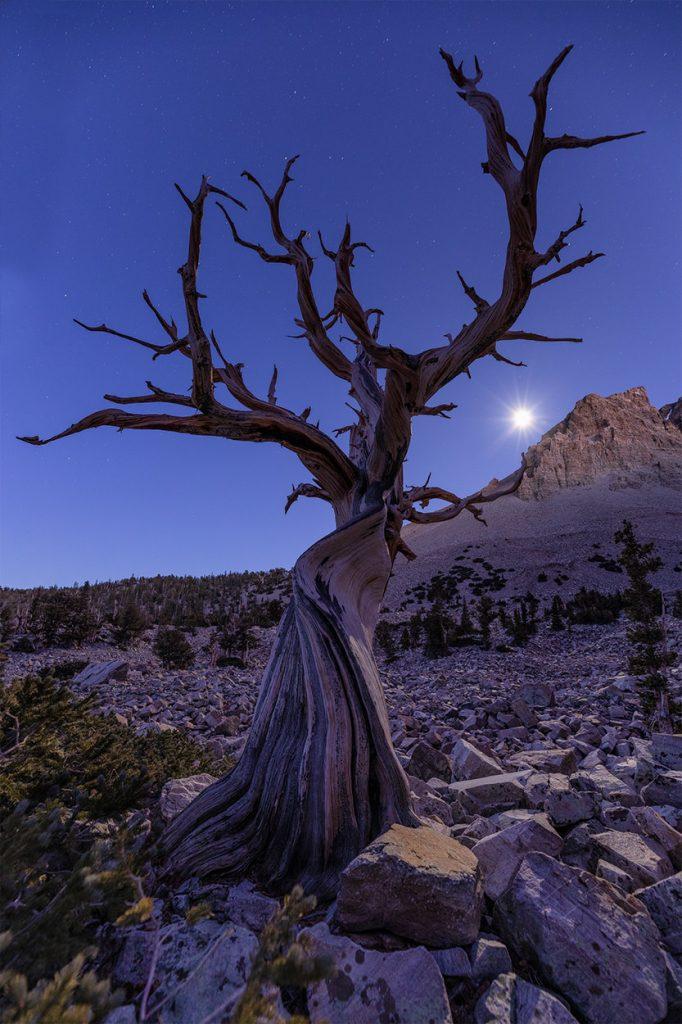 Nevada Bristlecone Pine